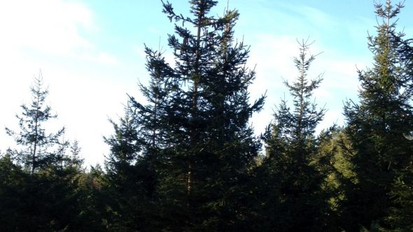 6th December – Christmas Trees