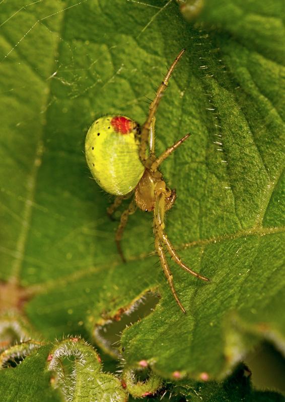 Green Orb Spider