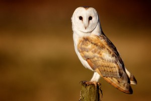 Yorkshire Barn Owl