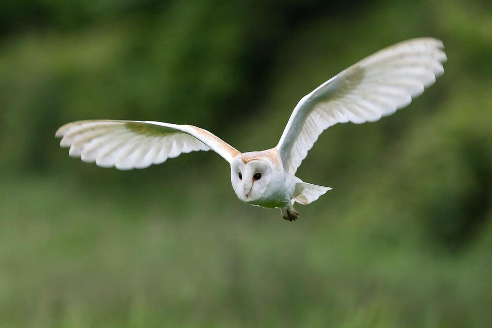 Yorkshire Barn Owls