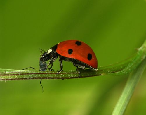 ladybird eating aphid