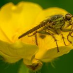 'Fly on a Buttercup at Bretton Pond' by Gramham Washington