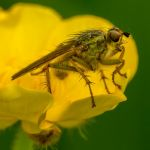 Fly on a Buttercup at Bretton Pond by Gramham Washington