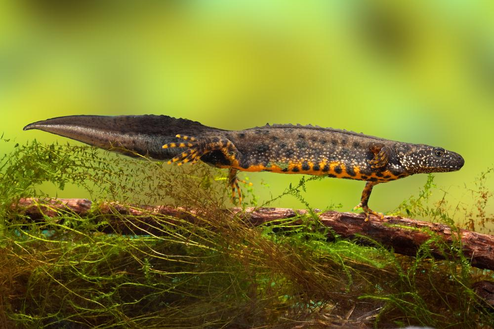 Protecting Great Crested Newts Earnshaws Fencing Centres