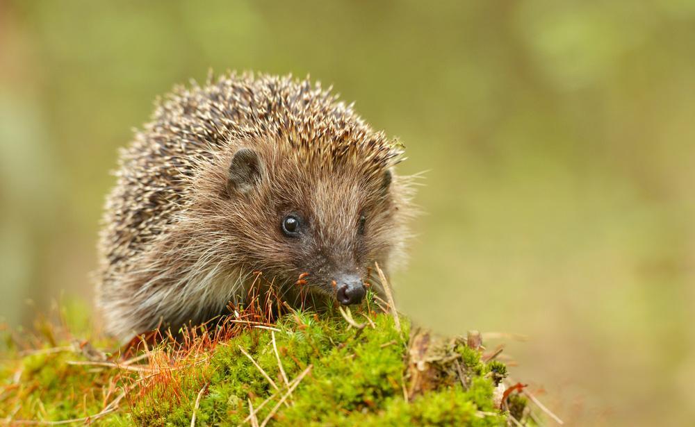 hedgehog-awareness-week