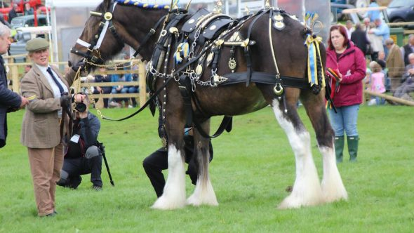 Penistone Show –  Sponsors of the mighty Shire Horse class!