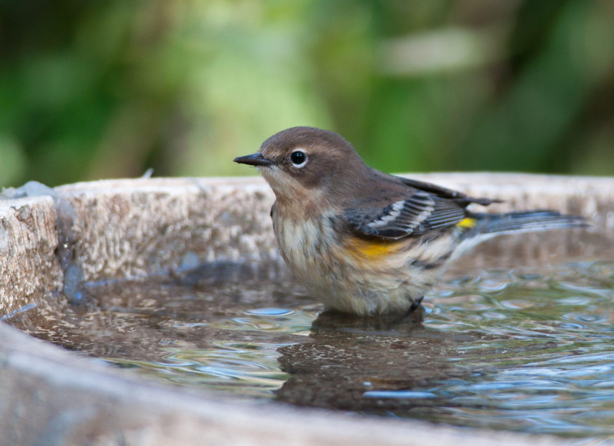 garden bird sitting in a bird bath