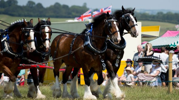 Penistone Show 2018– Sponsoring the mighty Shire Horse class!
