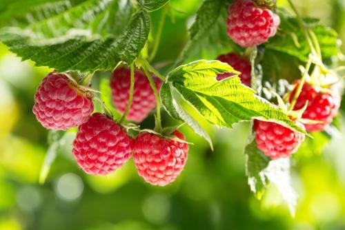 Earnshaws Fencing Centres Raspberry Harvest