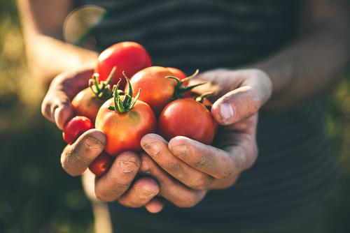 Earnshaws Fencing Centres Tomato Harvest