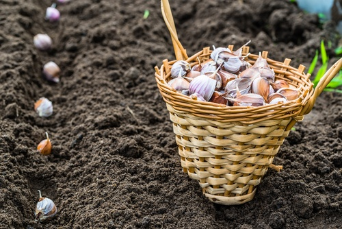 planting garlic, november gardening tips