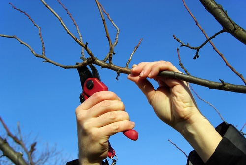 pruning the fruit trees with Earnshaws
