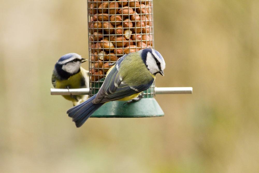 blue tits on bird feeders