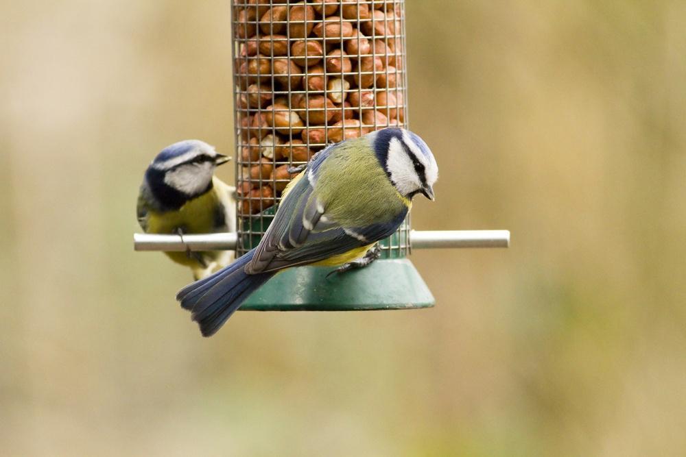 blue tits on bird feeders