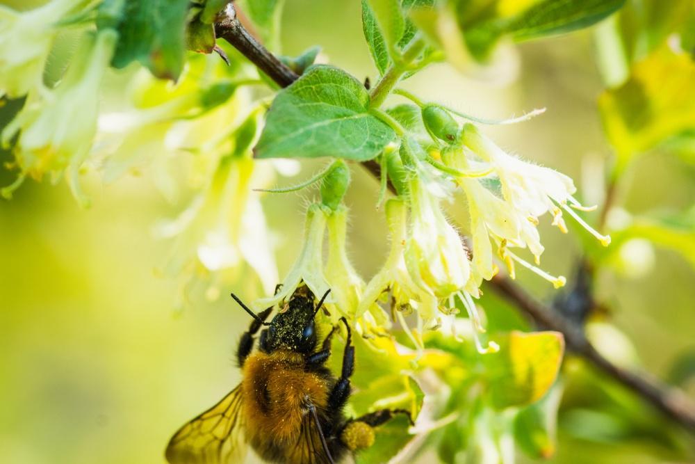 bees on honeysuckle earnshaws