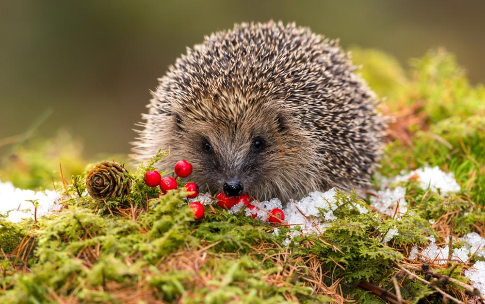 help the hedgehogs with earnshaws