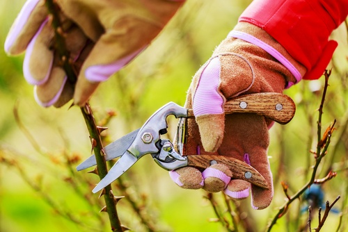rose pruning with earnshaws