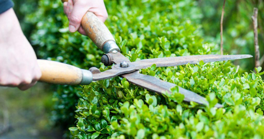 Pruning winter shrubs
