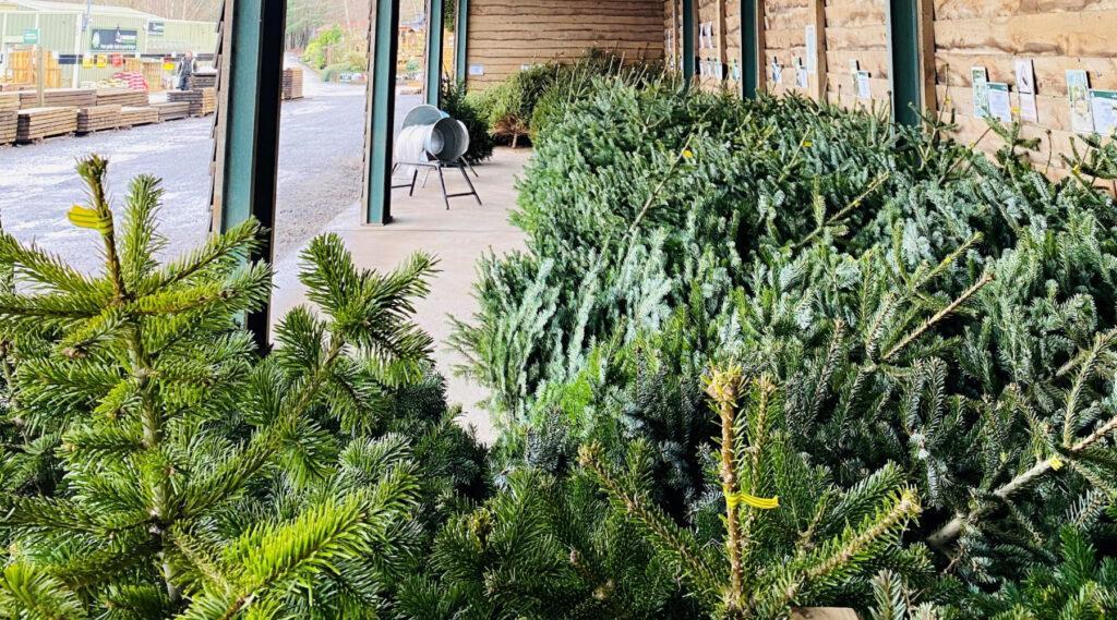 Earnshaws Christmas Trees